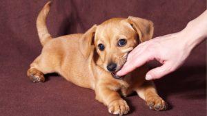 jak oduczyć psa gryzienia