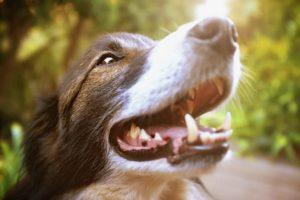 usuwanie kamienia nazębnego u psa