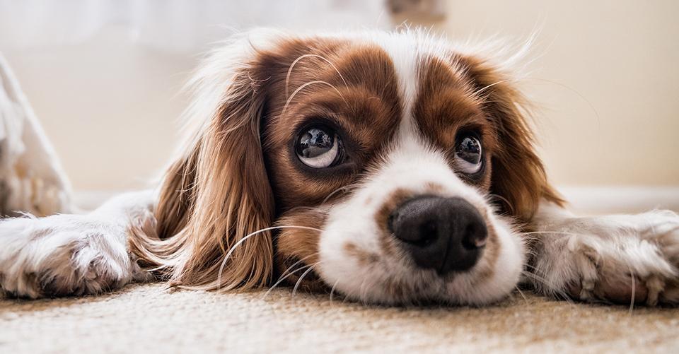 jak oduczyć dorosłego psa sikania w domu
