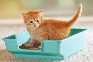 Jak nauczyć kota korzystać z kuwety