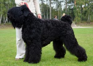 Czarny terier rosyjski