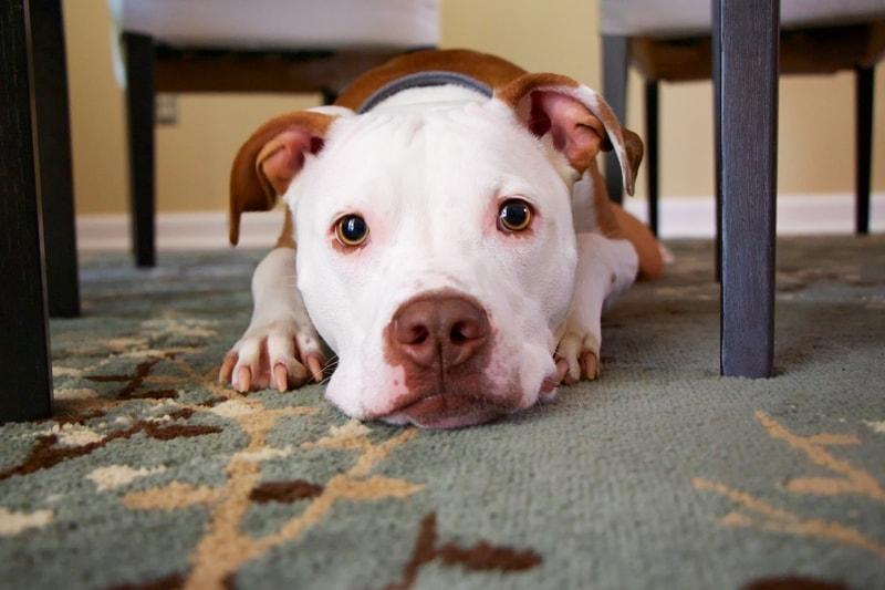 rozwolnienie u psa