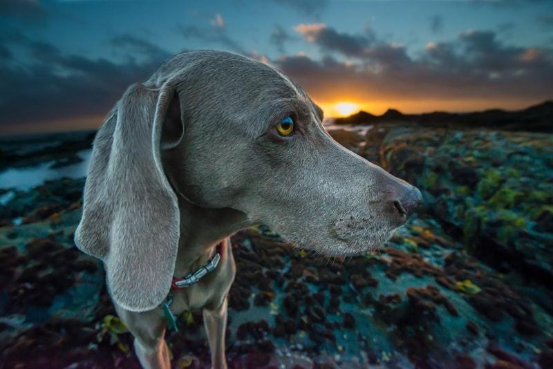 ciepły i suchy nos u psa