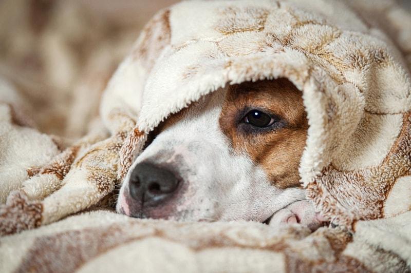 parwowiroza u psa