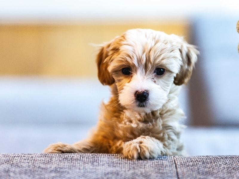 objawy gorączki u psa