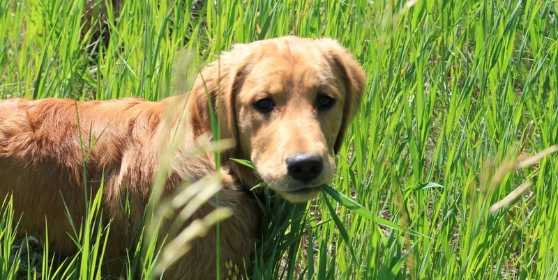 czemu pies je trawę