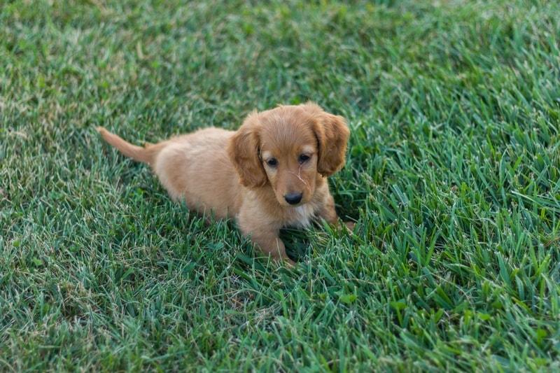 dlaczego psy jedzą trawę
