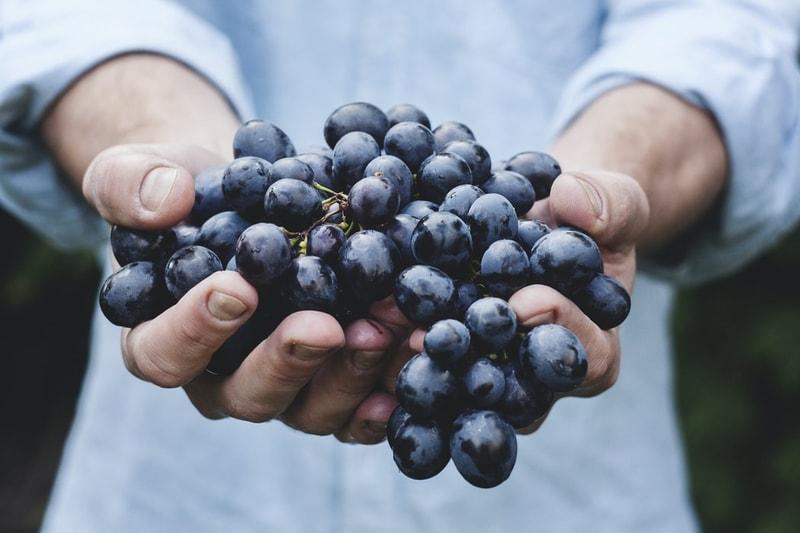 czy pies może jeść winogrona
