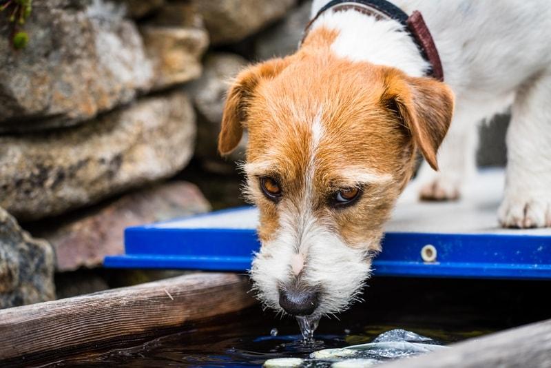 pies pije dużo wody