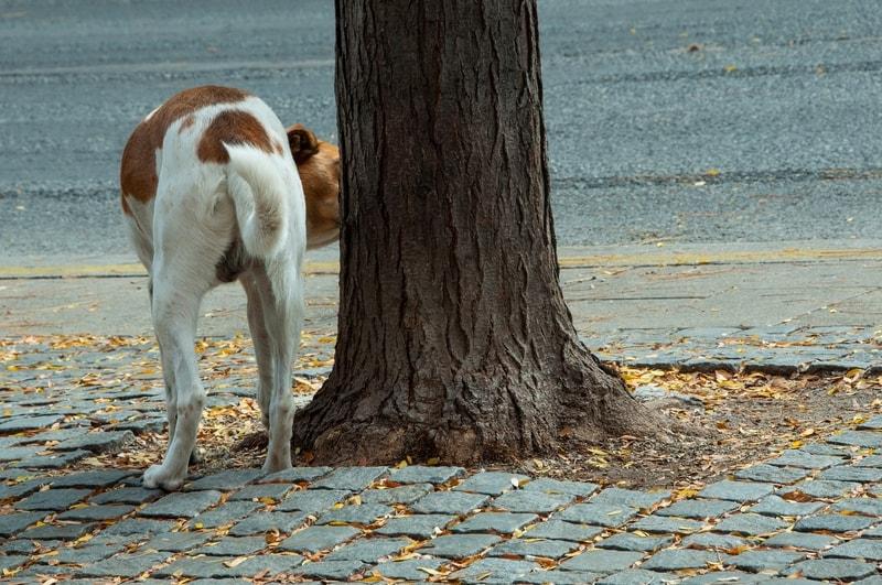 Dlaczego pies często sika