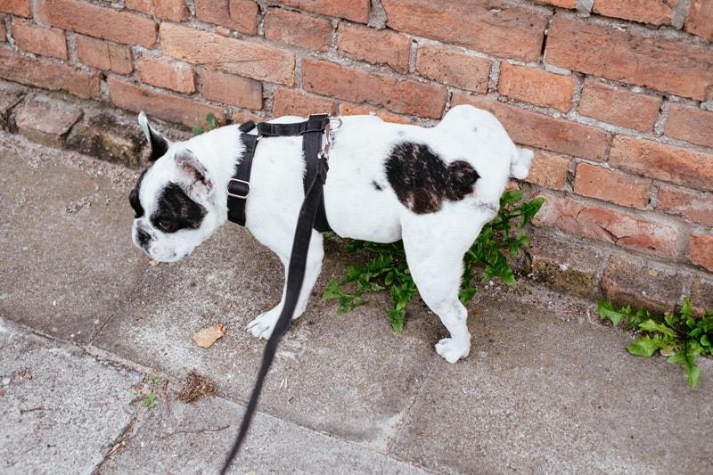 częste oddawanie moczu przez psa