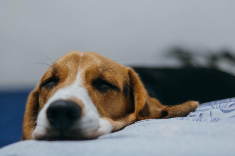 przeziębienie pęcherza u psa
