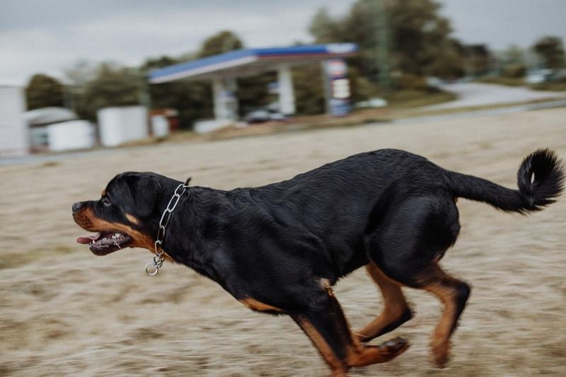 jak oduczyć psa uciekania