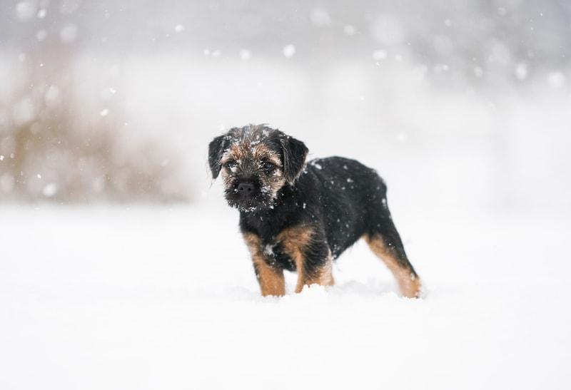 odmrożone łapy u psa