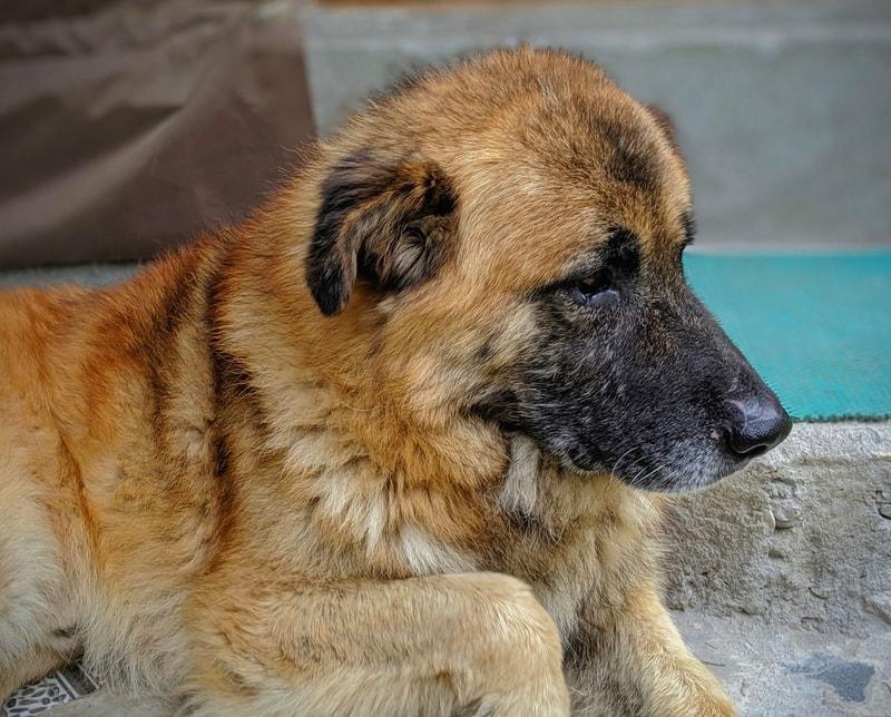 alergia skórna u psa - objawy