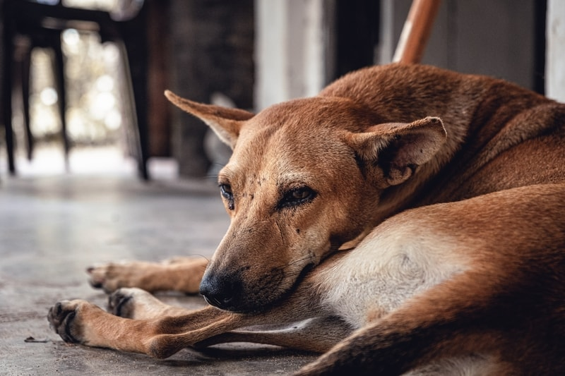 alergia skórna u psa - leczenie