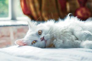 otyły kot