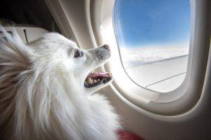 przewóz psa samolotem