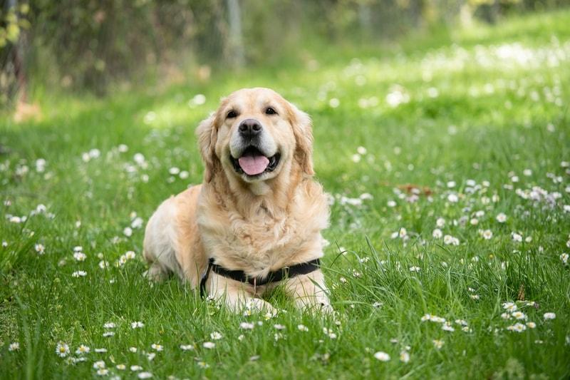 szelki dla psa czy obroża