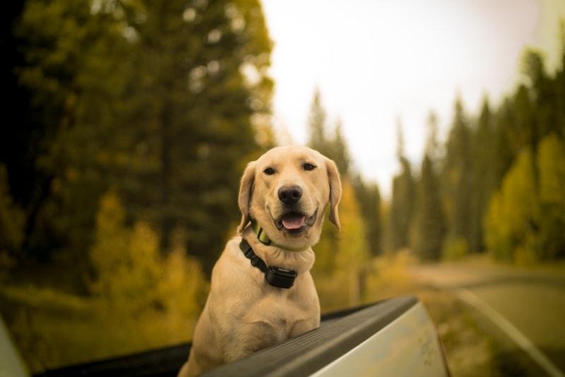 dysplazja stawów u psa