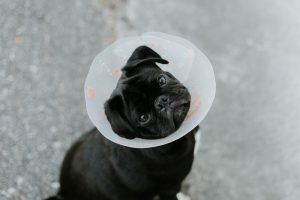 kołnierz ochronny dla psa