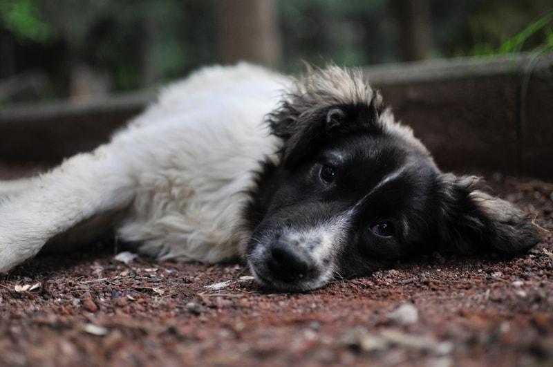 leczenie dysplazji u psa