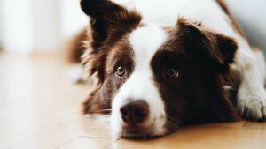 niewydolność nerek u psa