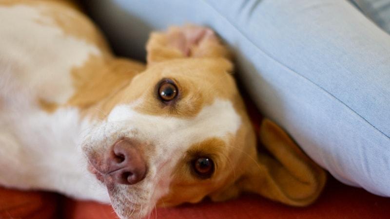 ostra niewydolność nerek u psa