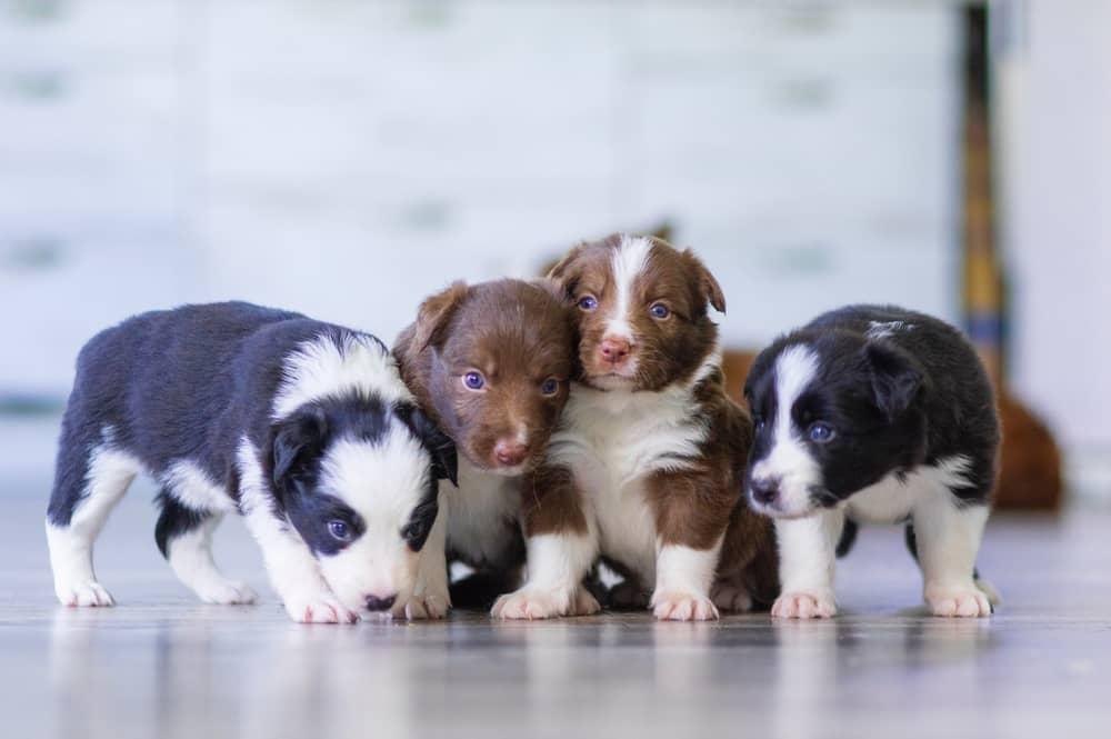 Ile trwa ciąża u psa? Wszystko o psie w ciąży