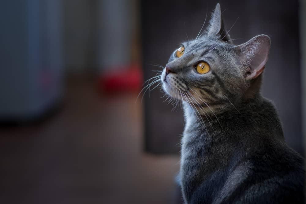 Rodzaje miauczenia kota