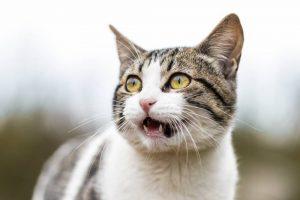 Miauczenie kota