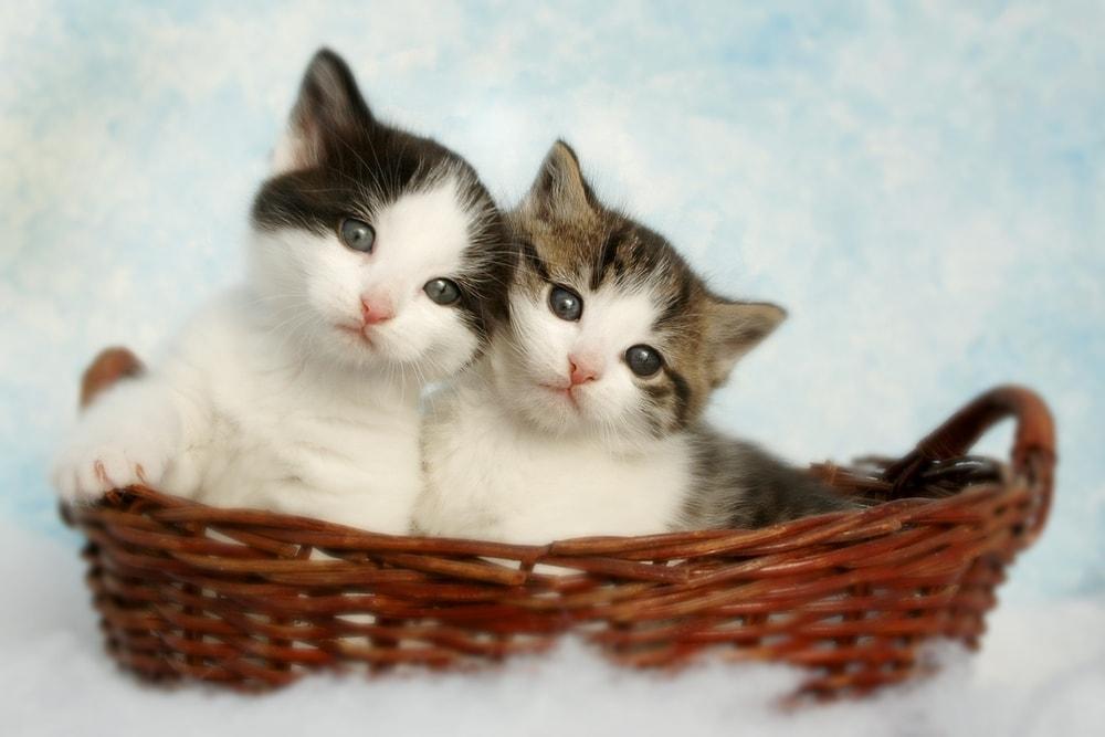 Ile trwa ciąża kota? Wszystko o kocie w ciąży