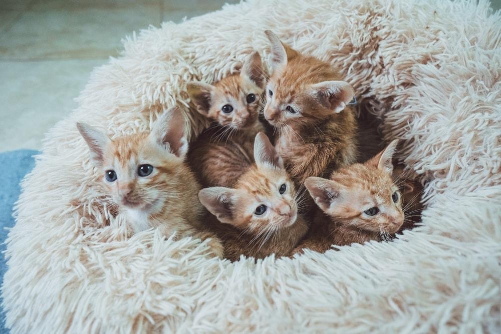 Kiedy kotka może zajść w pierwszą ciążę?